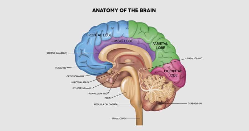 เรื่องน่ารู้ เกี่ยวกับสมอง (Brain)